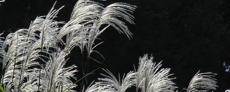 Amur Silver Grass für Dachgärten